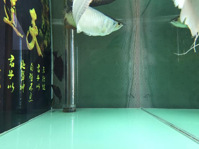 用了乾坤袋一周,蛋白虫几乎没有了!一直困扰的问题终于解决了! 绵阳龙鱼论坛 绵阳水族批发市场第4张