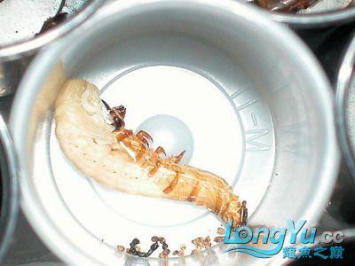 龙鱼的常用活饵 绵阳龙鱼论坛 绵阳水族批发市场第2张