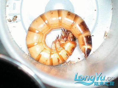 龙鱼的常用活饵 绵阳龙鱼论坛 绵阳水族批发市场第1张
