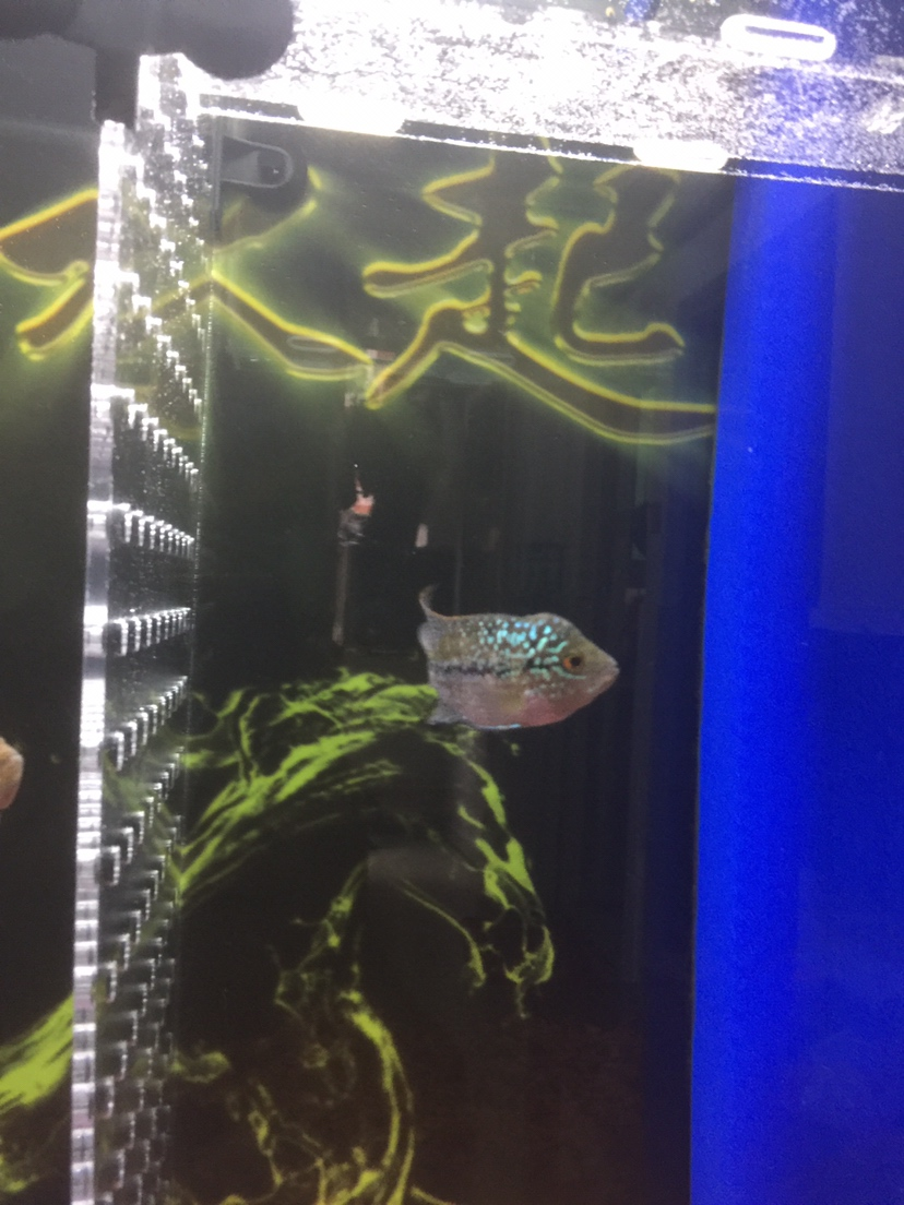 绵阳红龙鱼看起来舒服多了 绵阳龙鱼论坛 绵阳水族批发市场第4张