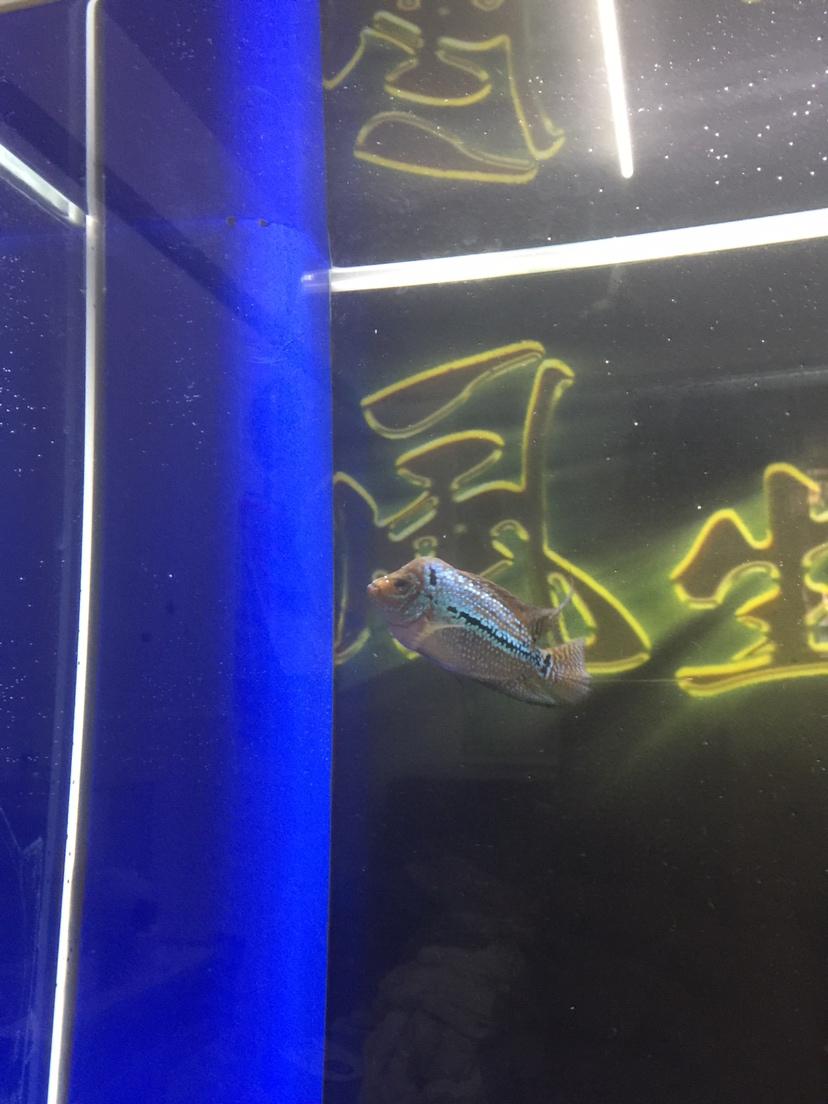 绵阳红龙鱼看起来舒服多了 绵阳龙鱼论坛 绵阳水族批发市场第5张