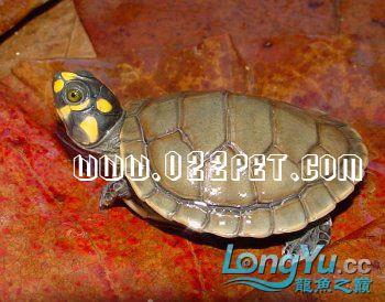 谁养过这种龟 绵阳龙鱼论坛 绵阳水族批发市场第1张