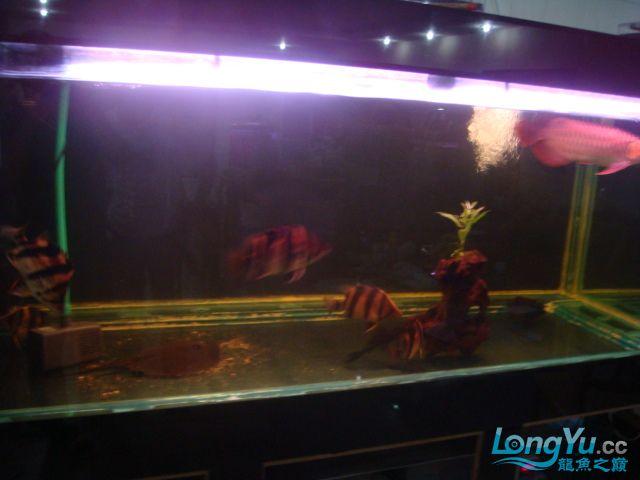 本人的一条红龙,自认为很完美 绵阳龙鱼论坛 绵阳水族批发市场第3张