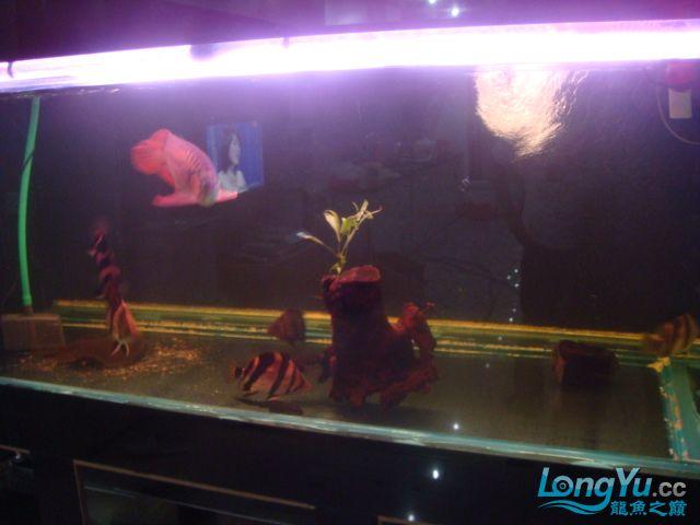 本人的一条红龙,自认为很完美 绵阳龙鱼论坛 绵阳水族批发市场第2张