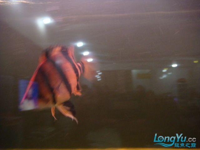 本人的一条红龙,自认为很完美 绵阳龙鱼论坛 绵阳水族批发市场第4张