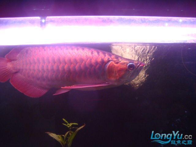 本人的一条红龙,自认为很完美 绵阳龙鱼论坛 绵阳水族批发市场第7张