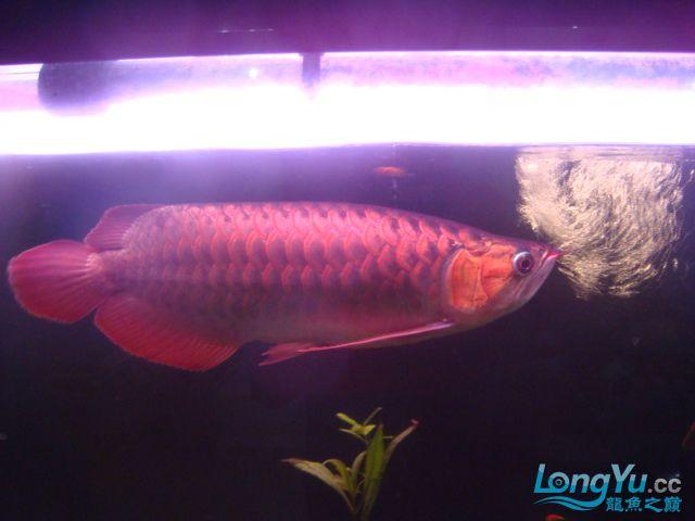 本人的一条红龙,自认为很完美 绵阳龙鱼论坛 绵阳水族批发市场第8张