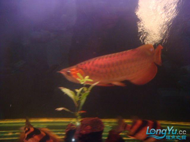 本人的一条红龙,自认为很完美 绵阳龙鱼论坛 绵阳水族批发市场第13张