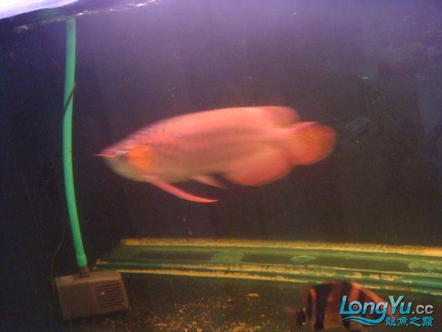 本人的一条红龙,自认为很完美 绵阳龙鱼论坛 绵阳水族批发市场第14张