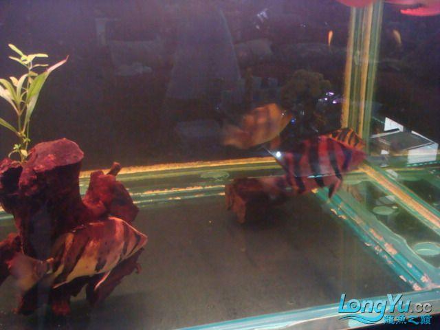 本人的一条红龙,自认为很完美 绵阳龙鱼论坛 绵阳水族批发市场第20张