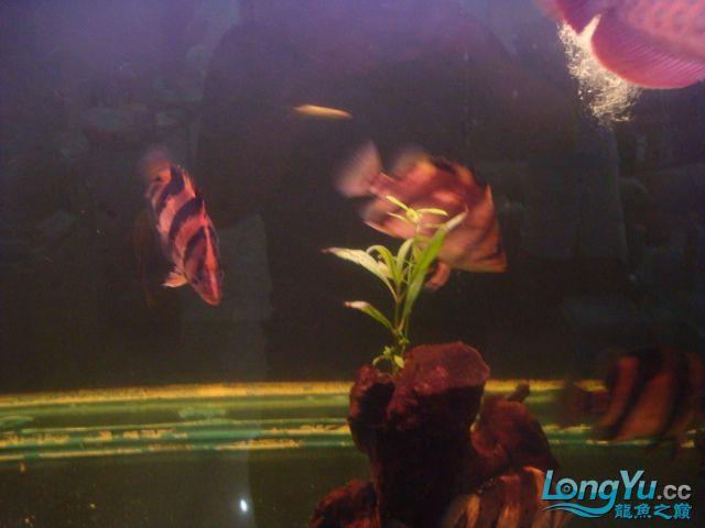 本人的一条红龙,自认为很完美 绵阳龙鱼论坛 绵阳水族批发市场第19张