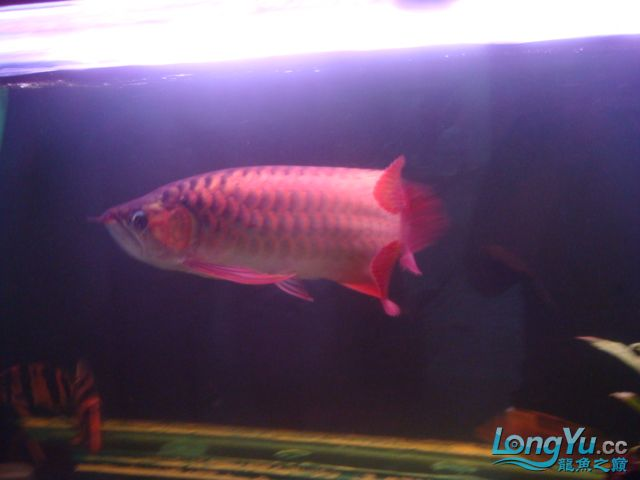 本人的一条红龙,自认为很完美 绵阳龙鱼论坛 绵阳水族批发市场第22张