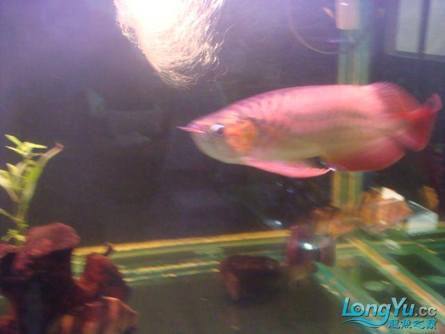 本人的一条红龙,自认为很完美 绵阳龙鱼论坛 绵阳水族批发市场第21张