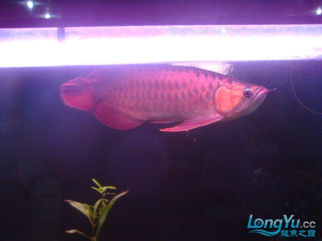 本人的一条红龙,自认为很完美 绵阳龙鱼论坛 绵阳水族批发市场第25张