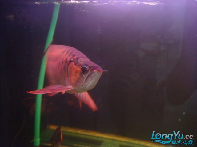 本人的一条红龙,自认为很完美 绵阳龙鱼论坛 绵阳水族批发市场第27张