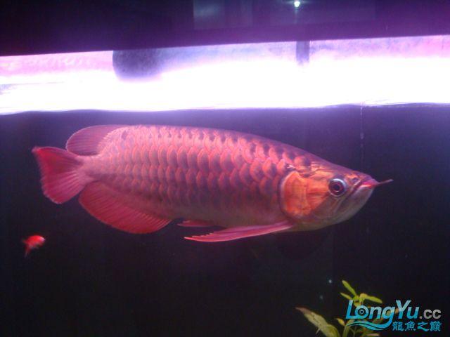 本人的一条红龙,自认为很完美 绵阳龙鱼论坛 绵阳水族批发市场第31张