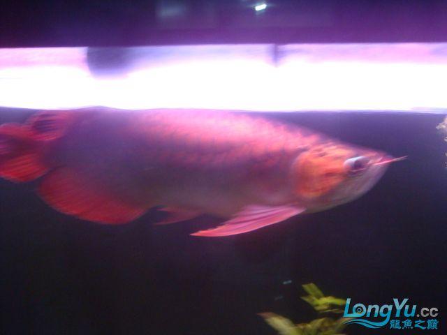 本人的一条红龙,自认为很完美 绵阳龙鱼论坛 绵阳水族批发市场第30张