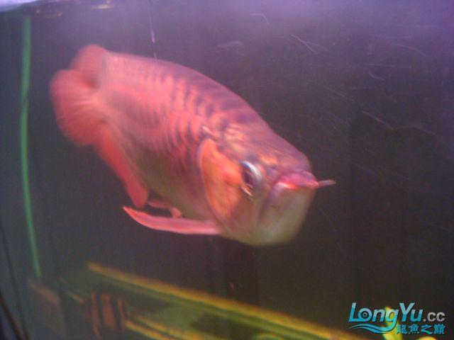 本人的一条红龙,自认为很完美 绵阳龙鱼论坛 绵阳水族批发市场第32张