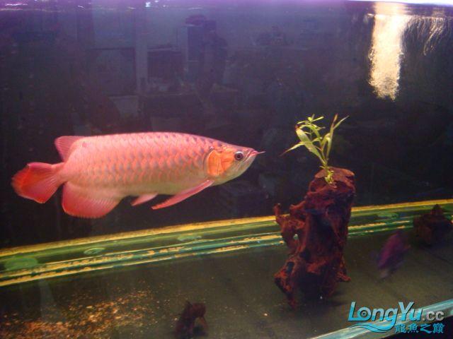 本人的一条红龙,自认为很完美 绵阳龙鱼论坛 绵阳水族批发市场第33张