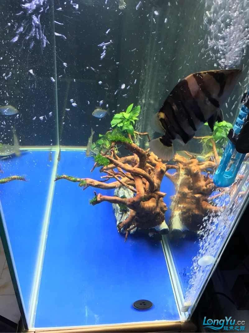 空气缸终于有所小成了 绵阳龙鱼论坛 绵阳水族批发市场第3张