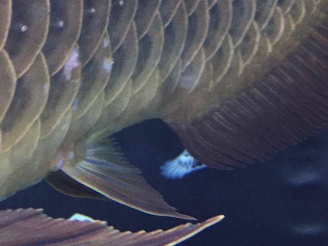 求助,龙鱼鳞片怎么了。 绵阳龙鱼论坛 绵阳水族批发市场第2张
