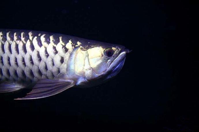 龙鱼的孵化繁殖过程——从金龙鱼鱼卵到小龙鱼鱼苗的成长过程高清组图 绵阳龙鱼论坛 绵阳水族批发市场第1张