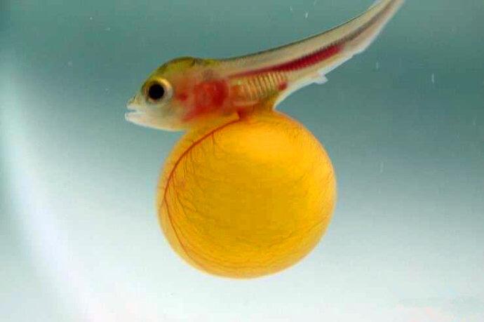 龙鱼的孵化繁殖过程——从金龙鱼鱼卵到小龙鱼鱼苗的成长过程高清组图 绵阳龙鱼论坛 绵阳水族批发市场第6张