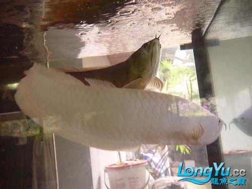 谁知道绵阳观赏鱼雪龙那里有卖的 绵阳龙鱼论坛 绵阳水族批发市场第2张