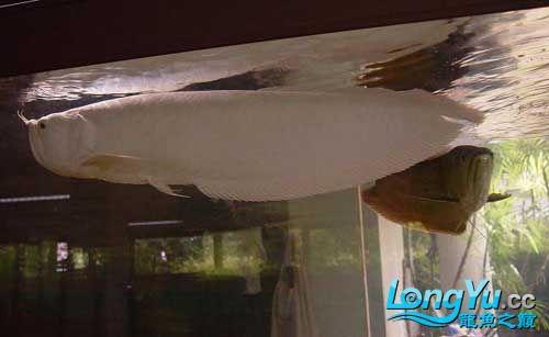 谁知道绵阳观赏鱼雪龙那里有卖的 绵阳龙鱼论坛 绵阳水族批发市场第3张