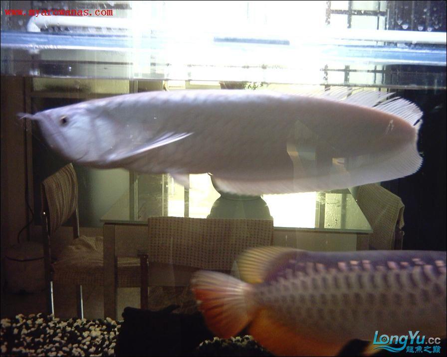 谁知道绵阳观赏鱼雪龙那里有卖的 绵阳龙鱼论坛 绵阳水族批发市场第5张