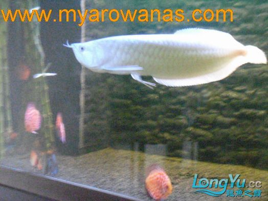 谁知道绵阳观赏鱼雪龙那里有卖的 绵阳龙鱼论坛 绵阳水族批发市场第8张