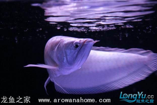 谁知道绵阳观赏鱼雪龙那里有卖的 绵阳龙鱼论坛 绵阳水族批发市场第10张
