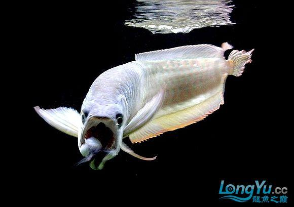 谁知道绵阳观赏鱼雪龙那里有卖的 绵阳龙鱼论坛 绵阳水族批发市场第11张
