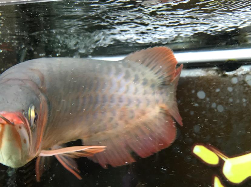 小红龙到家四个月,记录成长!绵阳鱼缸 绵阳龙鱼论坛 绵阳水族批发市场第4张
