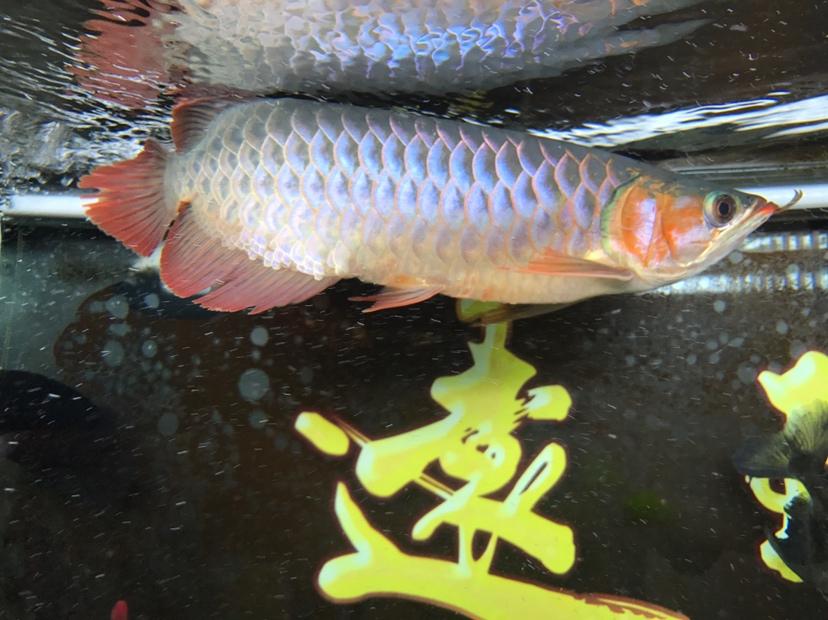 小红龙到家四个月,记录成长!绵阳鱼缸 绵阳龙鱼论坛 绵阳水族批发市场第6张