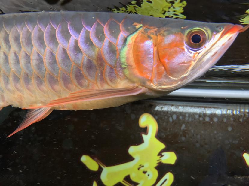 小红龙到家四个月,记录成长!绵阳鱼缸 绵阳龙鱼论坛 绵阳水族批发市场第7张
