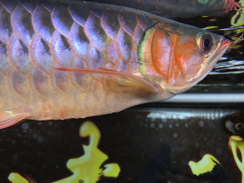 小红龙到家四个月,记录成长!绵阳鱼缸 绵阳龙鱼论坛 绵阳水族批发市场第8张