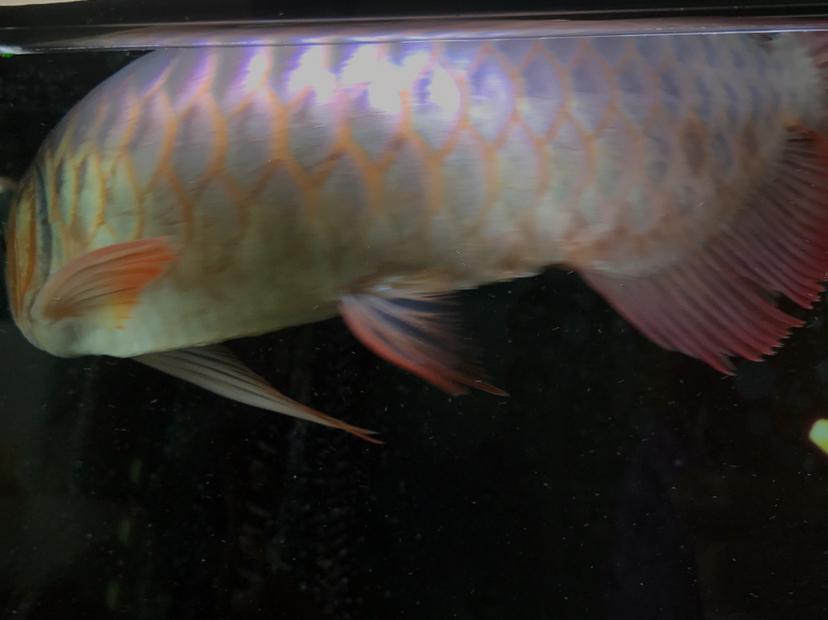 小红龙到家四个月,记录成长!绵阳鱼缸 绵阳龙鱼论坛 绵阳水族批发市场第9张