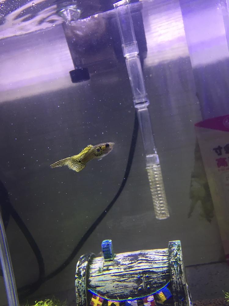 看看我家养的一群吃货 绵阳龙鱼论坛 绵阳水族批发市场第4张