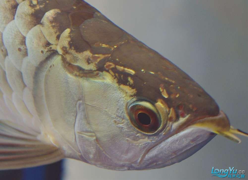 绵阳鱼缸定做定制求大神帮看看是不是头洞,该怎么办 绵阳龙鱼论坛 绵阳水族批发市场第1张