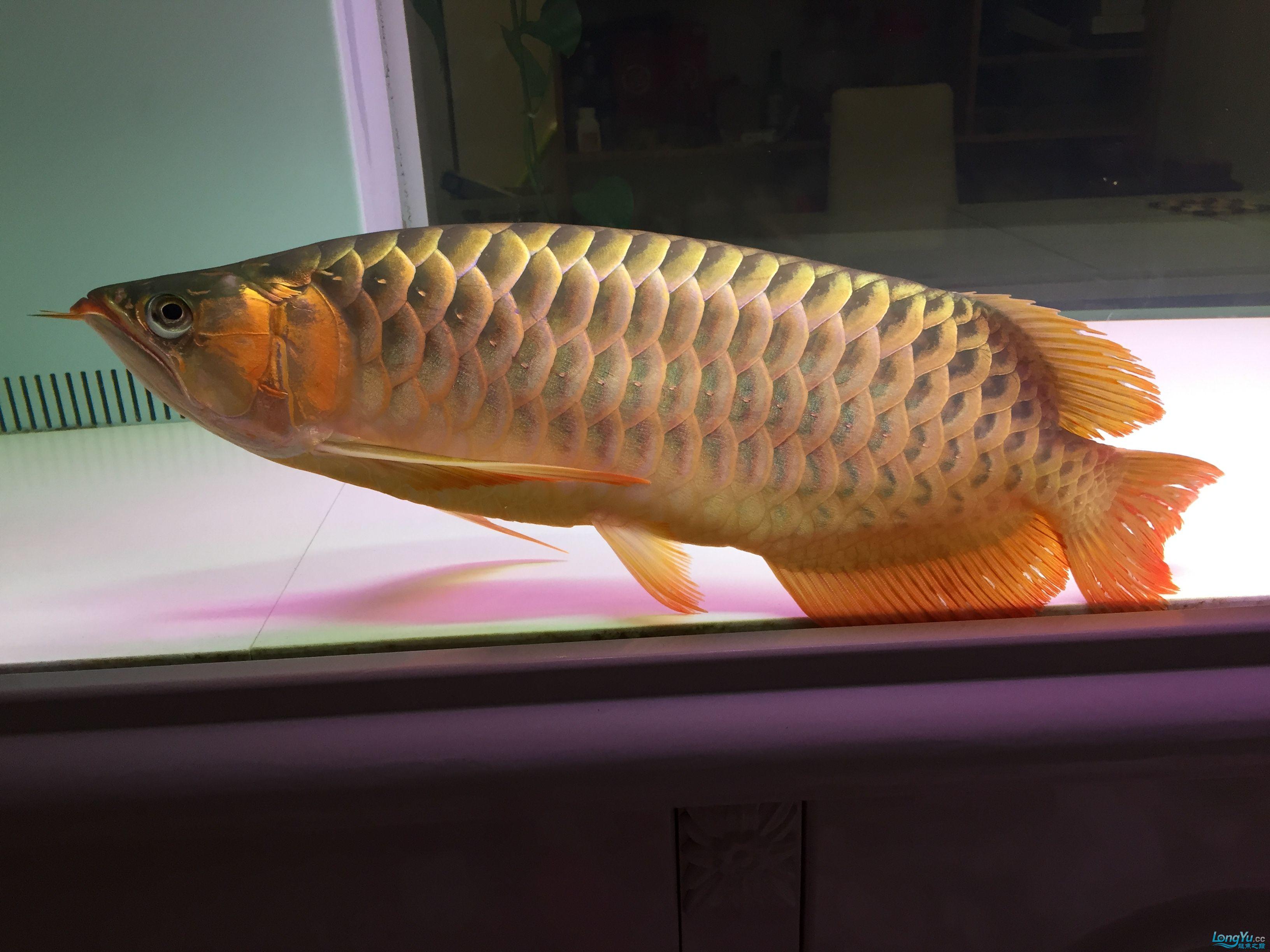 绵阳最大鱼缸昨天小金的辞世,小红还接受不了这残酷的现实! 绵阳龙鱼论坛