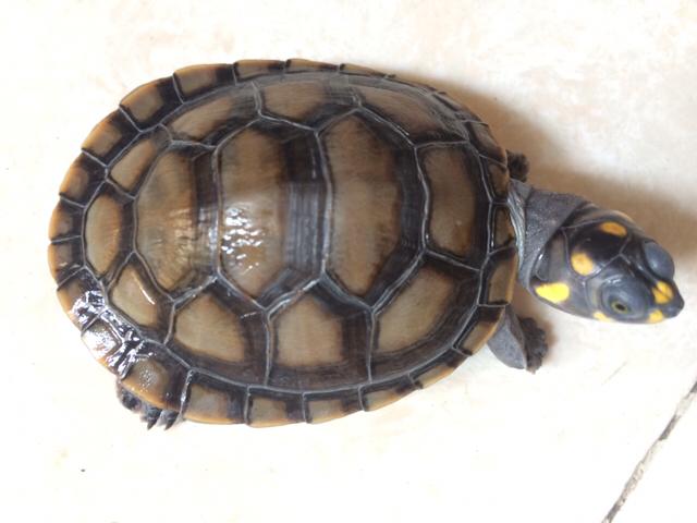 刚请的黄头龟,请问黄色壳还是黑色的好,买的时候有2种色选的