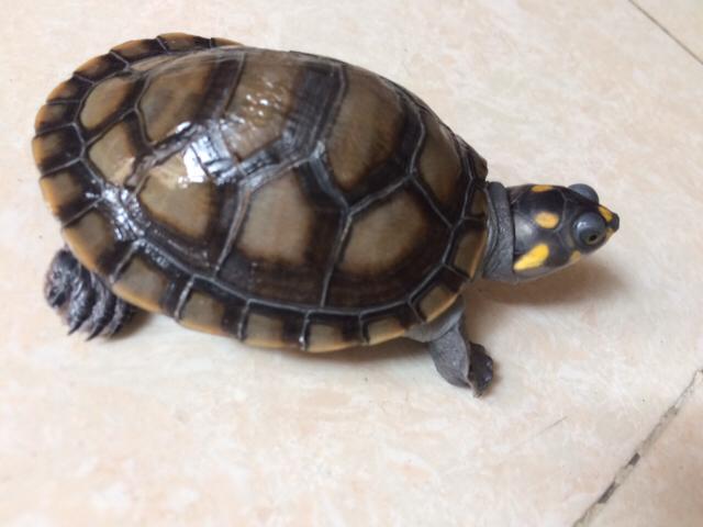 刚请的黄头龟,请问黄色壳还是黑色的好,买的时候有2种色选的 绵阳龙鱼论坛 绵阳水族批发市场第2张