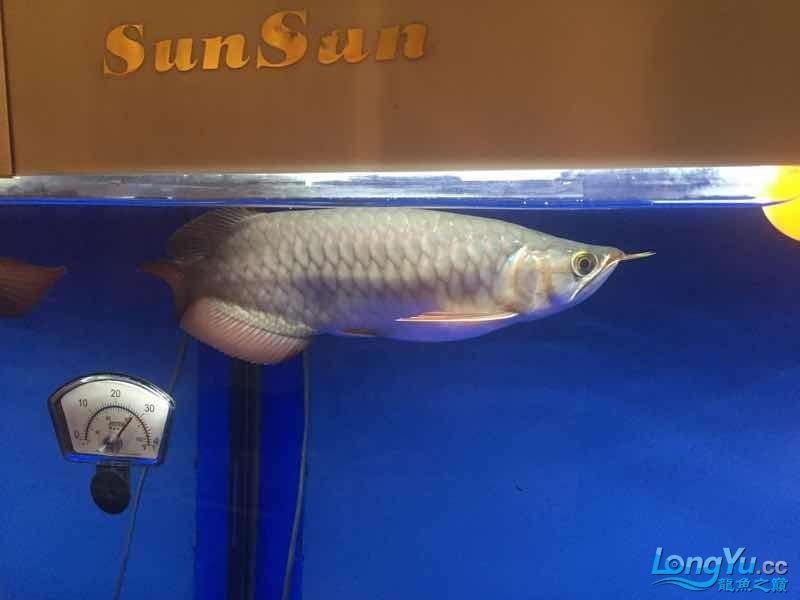 绵阳最大鱼缸红龙发色灯光问题。 绵阳龙鱼论坛 绵阳水族批发市场第2张