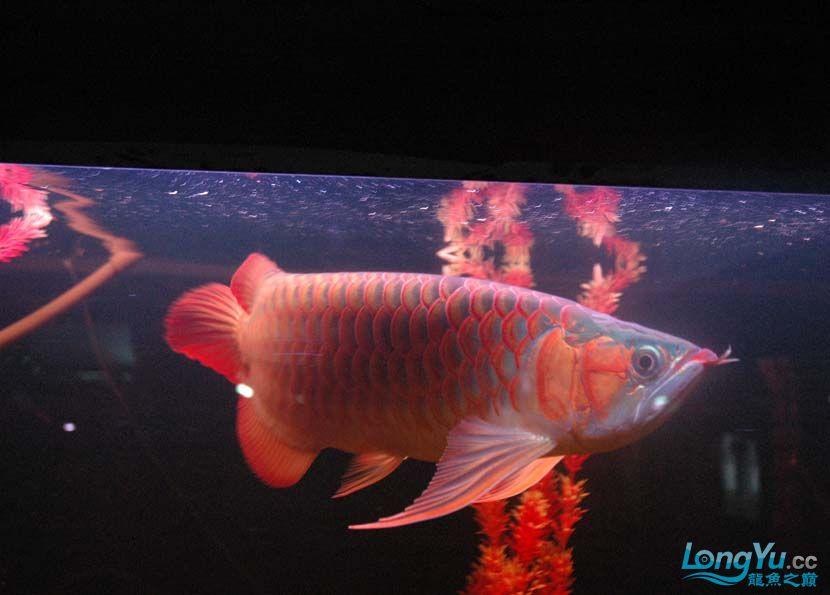 一条很红的红龙 绵阳龙鱼论坛 绵阳水族批发市场第1张