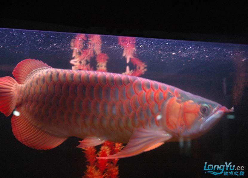 一条很红的红龙 绵阳龙鱼论坛 绵阳水族批发市场第2张