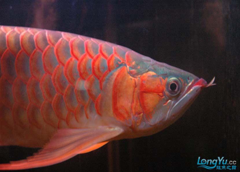 一条很红的红龙 绵阳龙鱼论坛 绵阳水族批发市场第3张