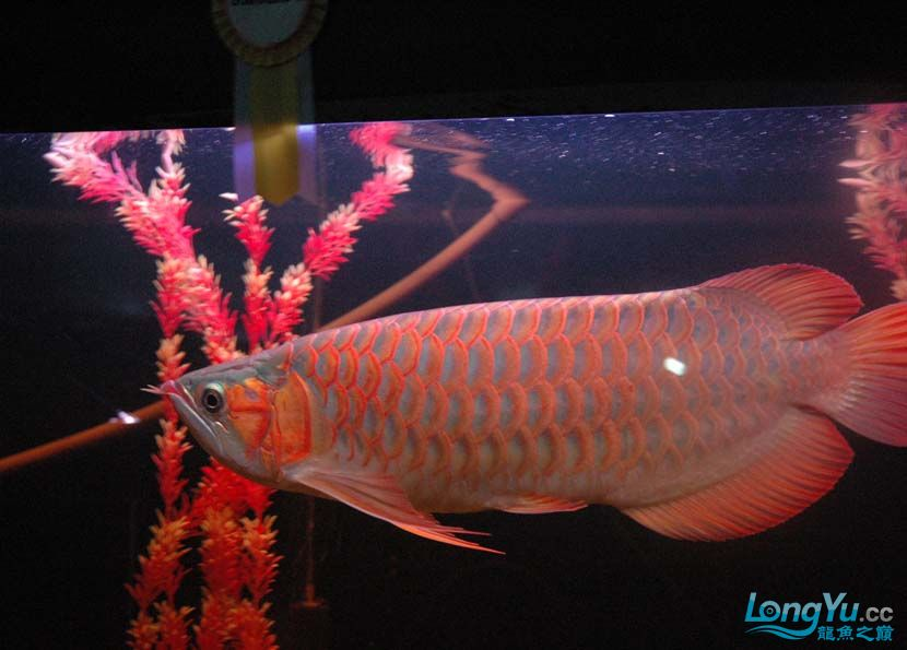 一条很红的红龙 绵阳龙鱼论坛 绵阳水族批发市场第4张