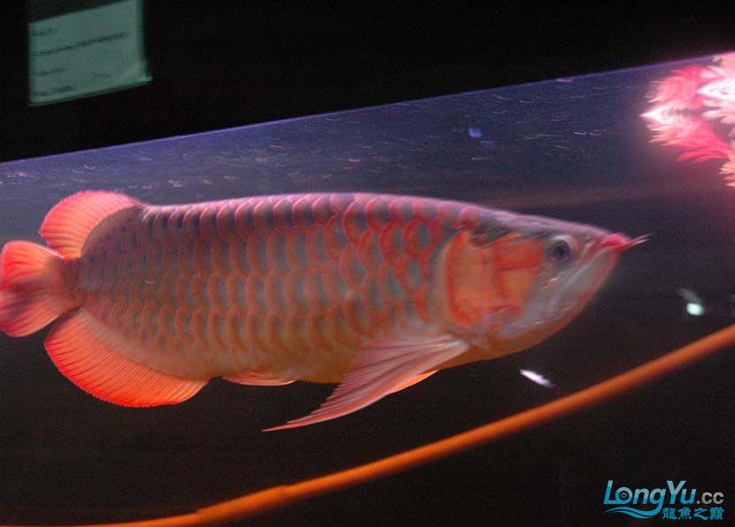 一条很红的红龙 绵阳龙鱼论坛 绵阳水族批发市场第5张