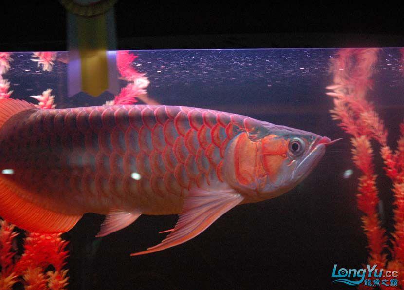 一条很红的红龙 绵阳龙鱼论坛 绵阳水族批发市场第6张